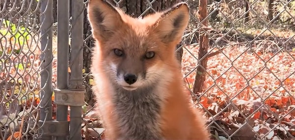 raposa bonita depois tratamento sarna