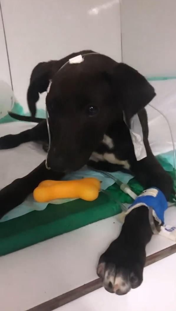 instituto luisa mell resgata cachorrinha de rua debilitada