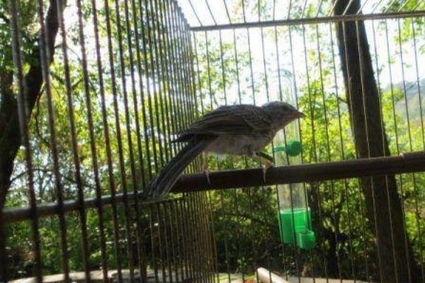 passarinho em gaiola