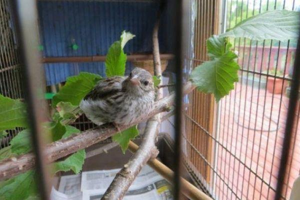 pássaro em galo e gaiola