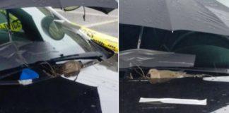 Pomba choca ovos em carro polícia
