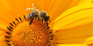 abelha polinização girassol