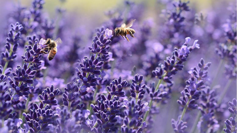 abelhas polinização flores