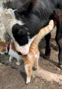 Bezerro fazendo carinho em gato