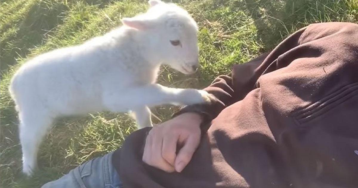 cordeiro passa casco homem pedindo carinho