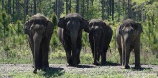 Elefantes andando por parque