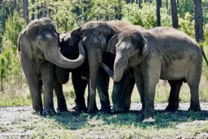 Elefantas em refúgio natural