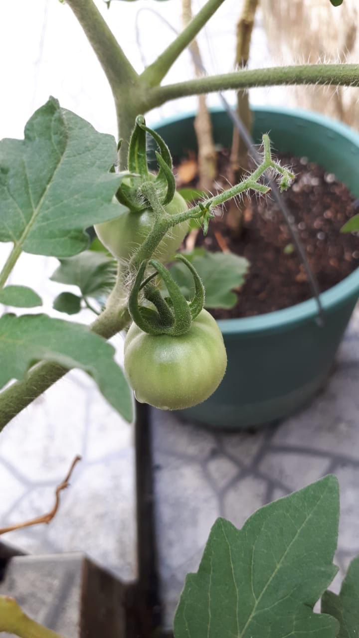 tomate cereja verde