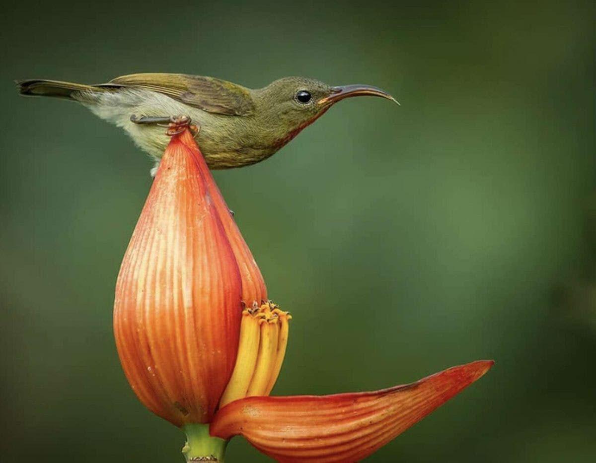 pássaro-sol carmesim sobre pétala flor bananeira