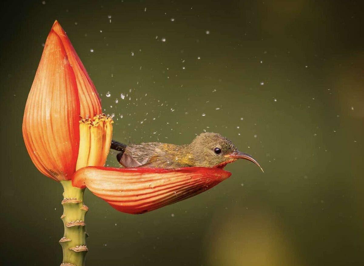pássaro-sol carmesim toma banho pétala flor bananeira