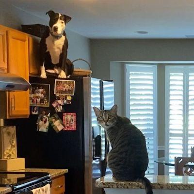 pit bull e gato em cozinha