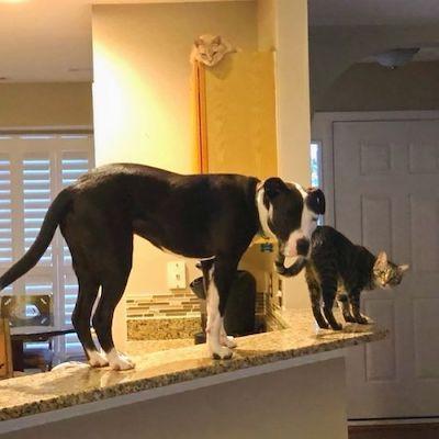 pit bull e gatos em cozinha