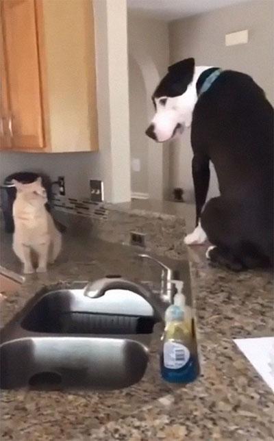 pit bull com gato em cima pia cozinha