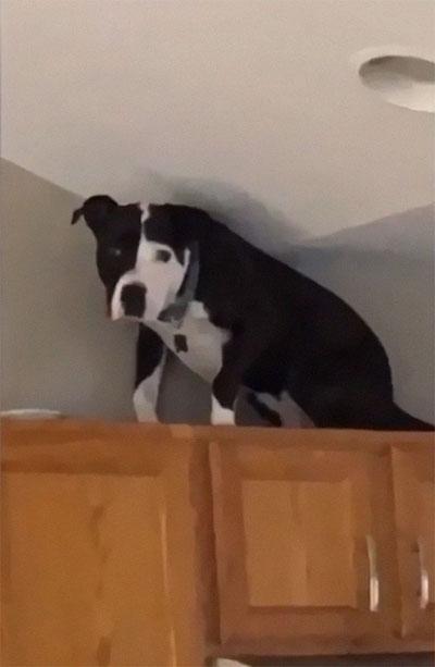 pit bull em cima armário