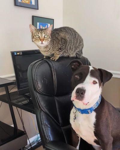 pit bull com gato cadeira
