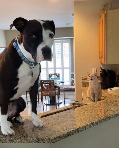 pit bull com gato em cozinha