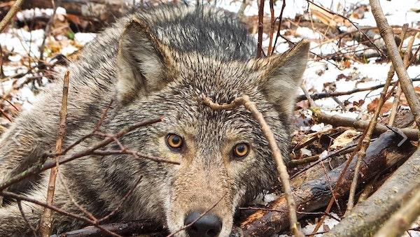 primeiros uivos filhote lobo 2