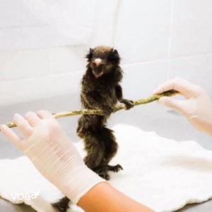 Macaco sendo cuidado no Projeto Mucky