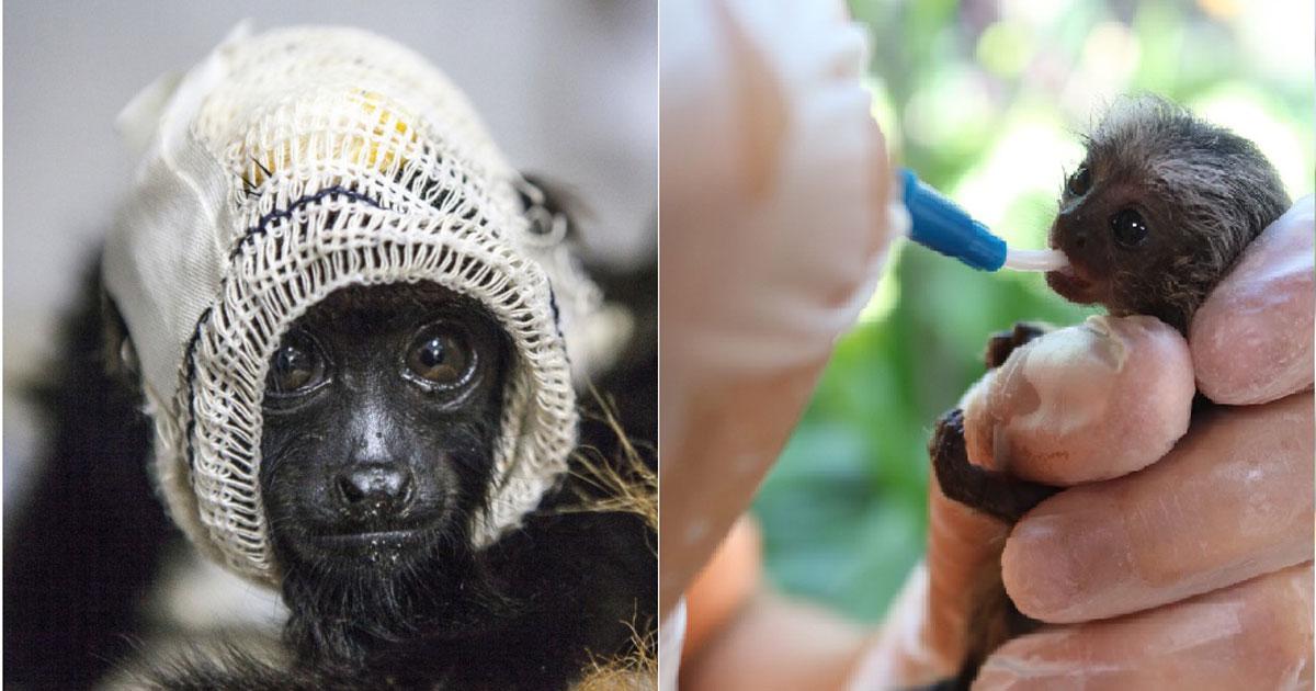 Primatas cuidados pelo Projeto Mucky