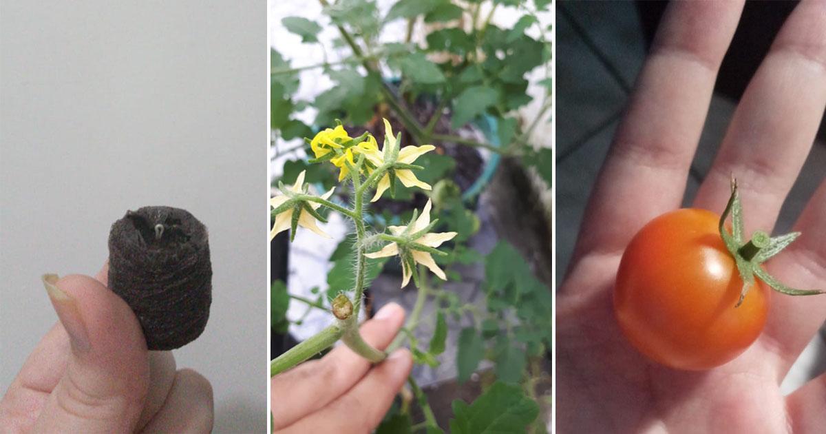 etapas crescimento tomate-cereja