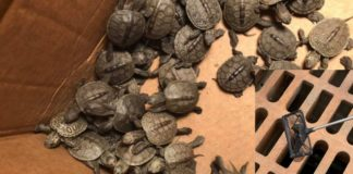 tartarugas presas bueiros capa
