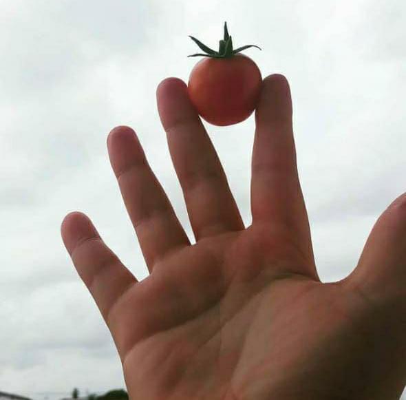 mão segurando tomate-cereja