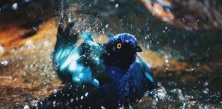 pássaro estorninho roxo em água