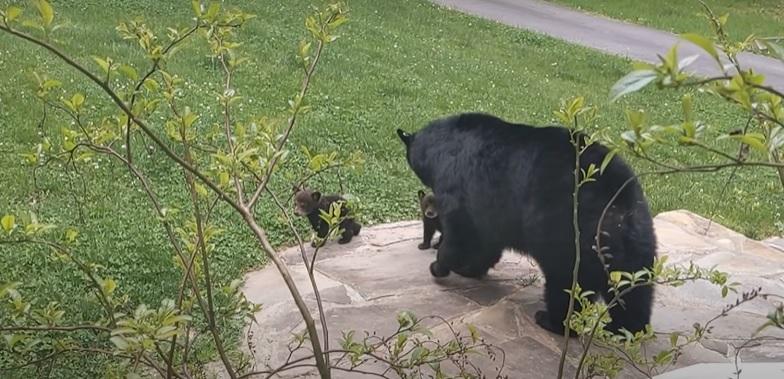 mamãe ursa leva filhotes conhecer amigo humano