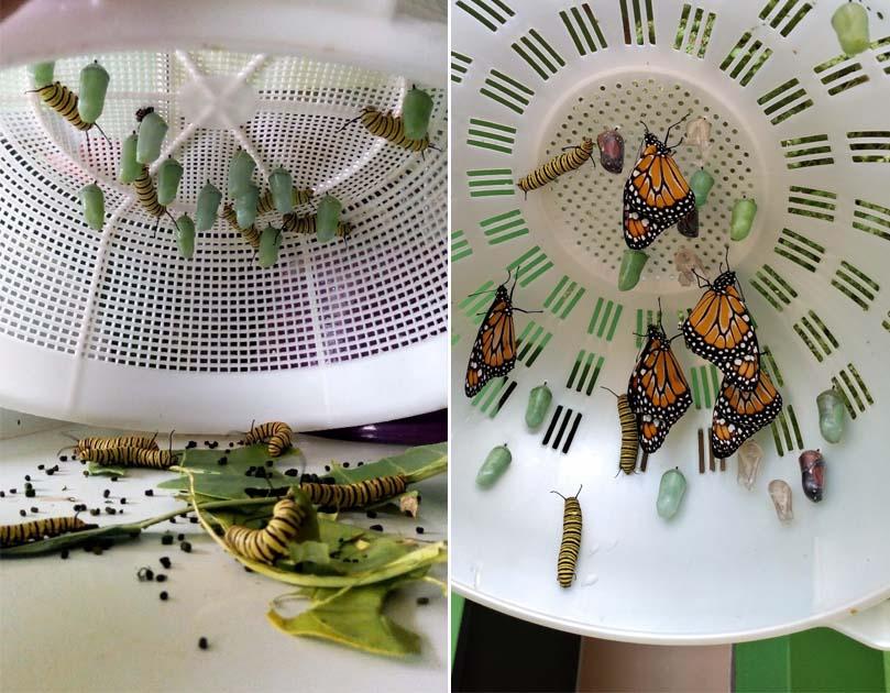 casulos borboletas escorredor macarrão