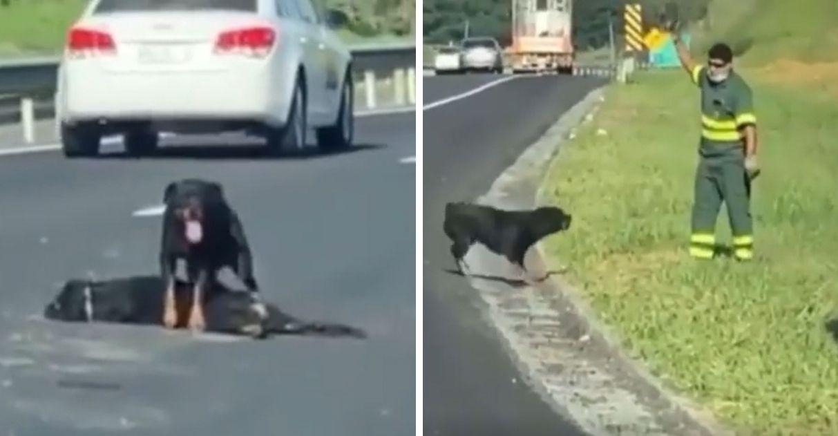 cachorrinha protege corpo de cão atropelado