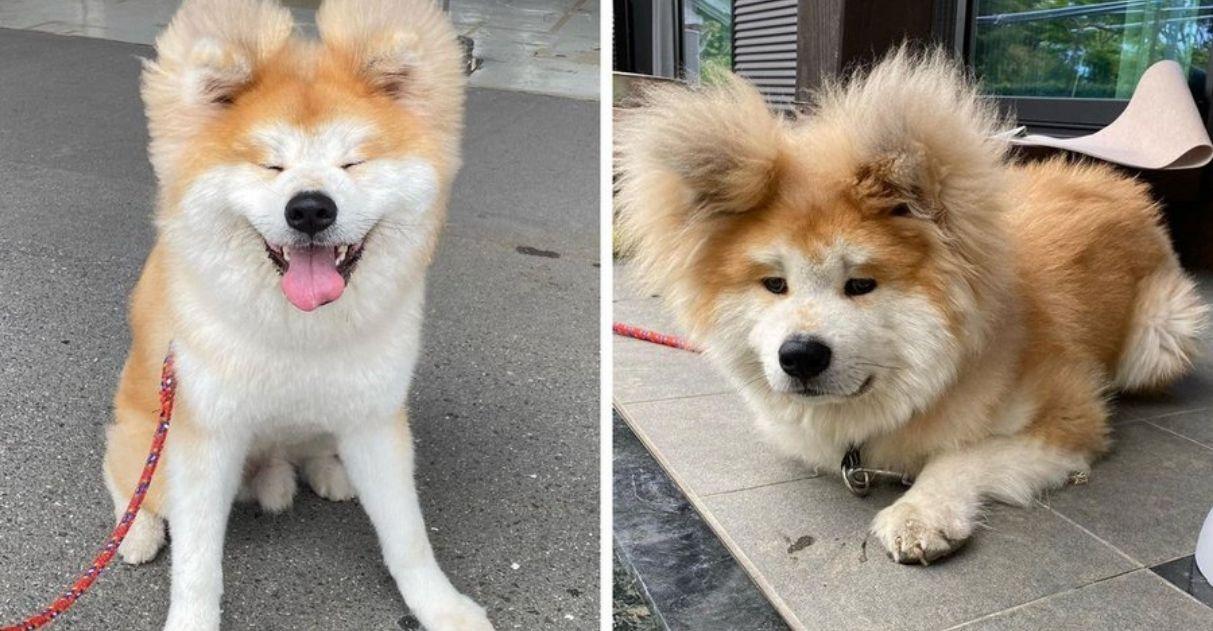 cachorro akita rosto formato de coração