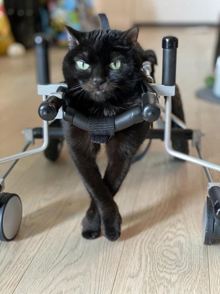 gatinho ganha cadeira de rodas feita pela tutora