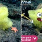 Bob Esponja e Patrick da vida real são 'flagrados' por biólogo marinho no fundo do mar