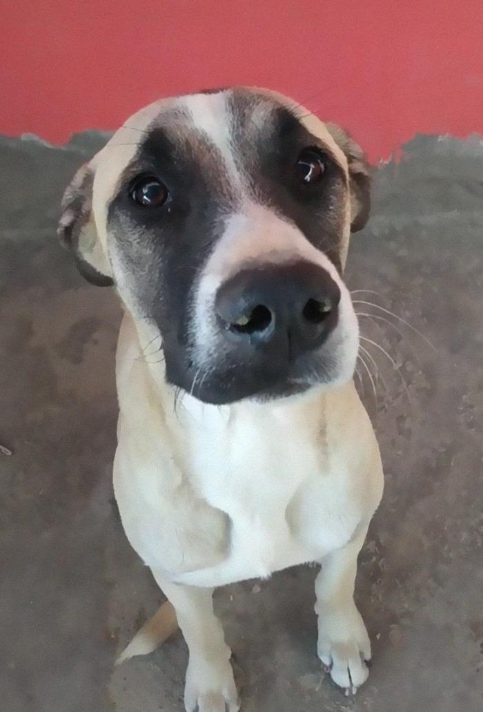 cachorro carente ansiedade de separação