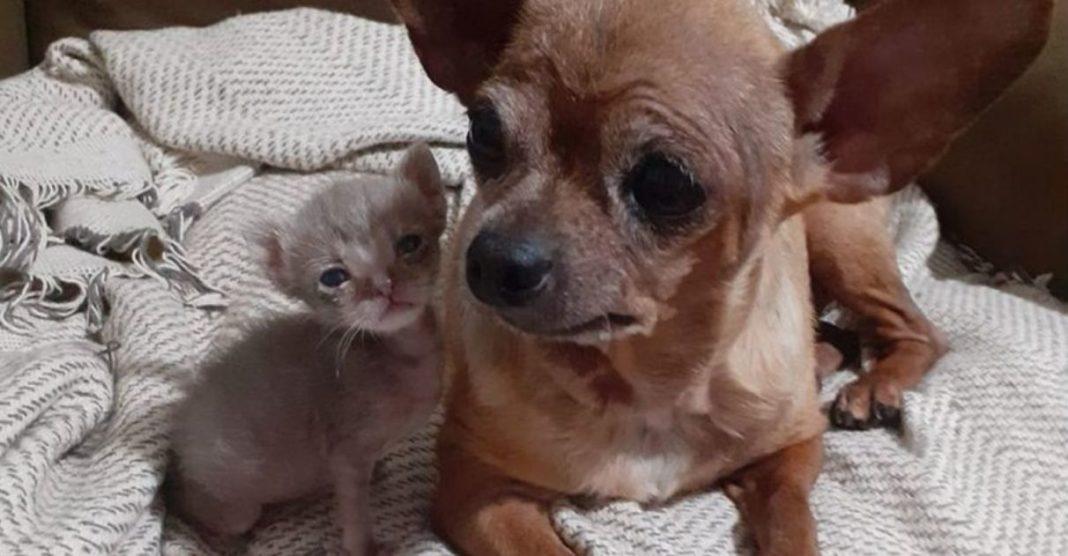 cadela idosa adota gatinho recém-nascido