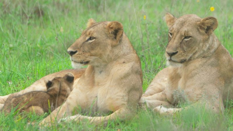 jovem pastor quênia sistema protege vacas de leões