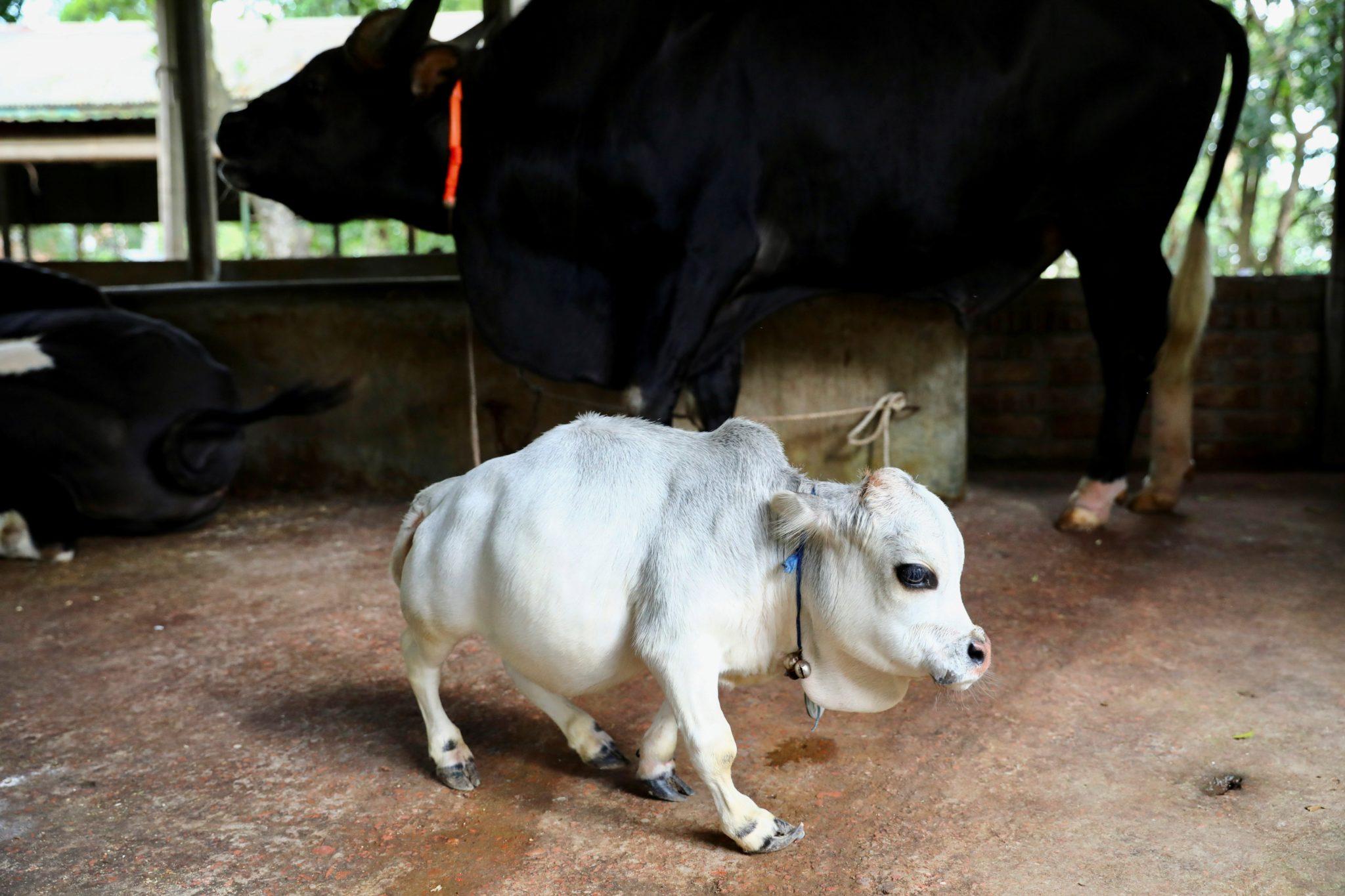 vaca nanismo menor do mundo guinness