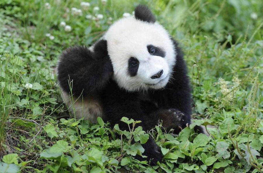 panda selvagem deixa de ser espécie ameaçada de extinção