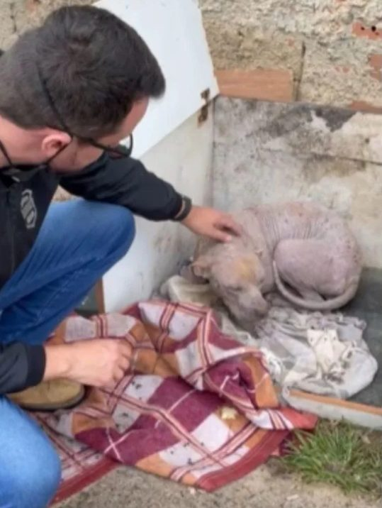 delegado resgata cadela pit bull mantida em cativeiro