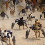 Abrigo compra 27 cadeirinhas de rodas para cães com deficiência resgatados das ruas na Tailândia