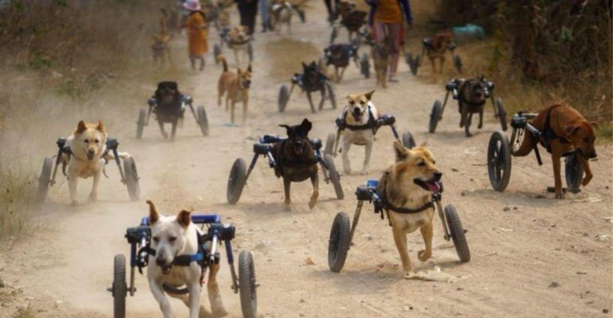 abrigo compra cadeirinhas de rodas para cães com deficiência