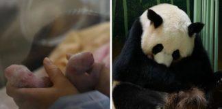 mãe panda-gigante dá luz bebês gêmeos