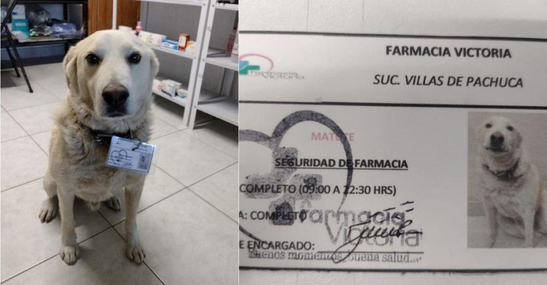 cãozinho comunitário contratado farmácia crachá de identificação