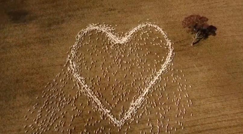 fazendeiro homenagem tia vítima câncer coração feito de ovelhas