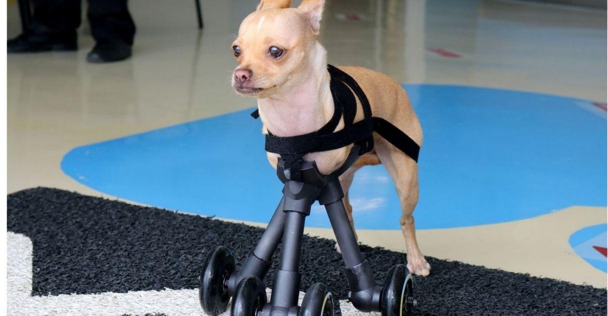 cadela chihuahua ganha prótese 3d