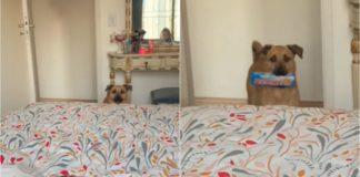 cachorro pede desculpa a tutora com pacote passatempo