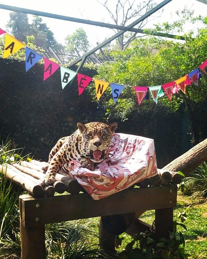 festa de aniversário para onça-pintada zoológico guarulhos sp