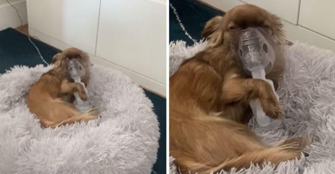 tutor flagra cachorrinho gripado segurando o próprio nebulizador