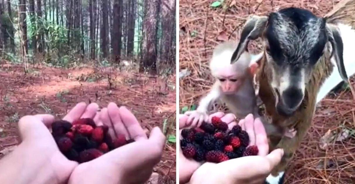cabra e macaco comendo amoras vídeo viral