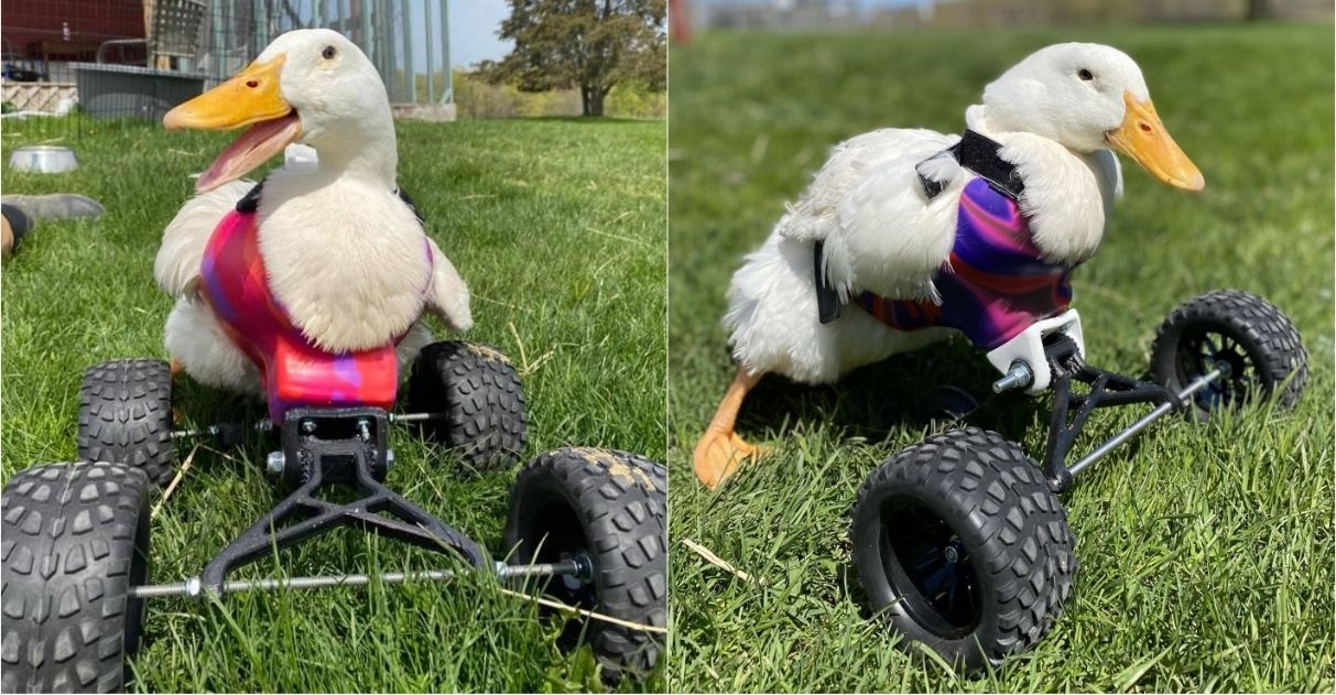 pata deficiente ganha cadeira de rodas em abrigo